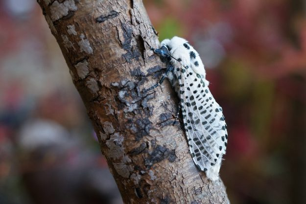 Black and white  moth with markings of a leopard