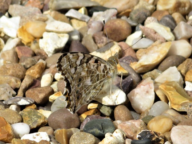 View of a brown buttefly with some lighter markings resting on gravel