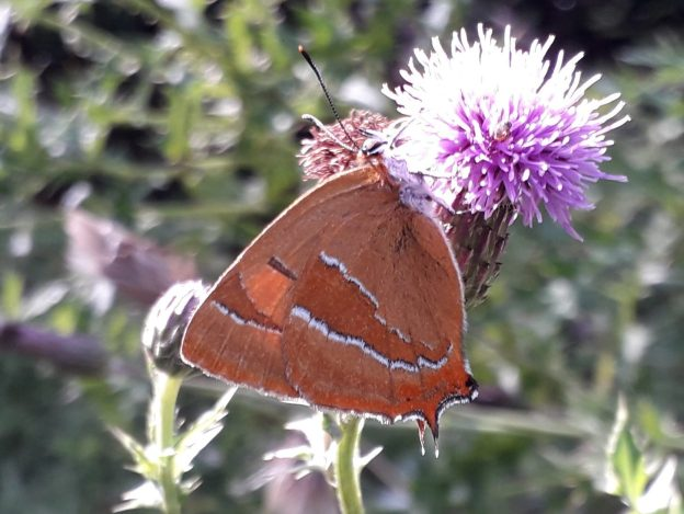 Brown butterfly with orange and white markings nectaring on a Creeping Thistle