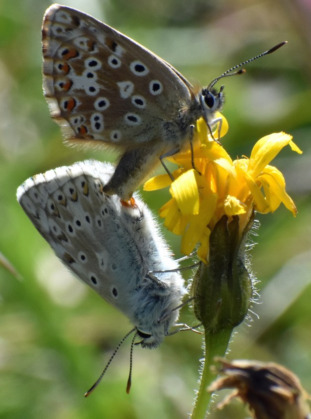 View of two brown and blue butterflies with orange, black and white markings whilst mating