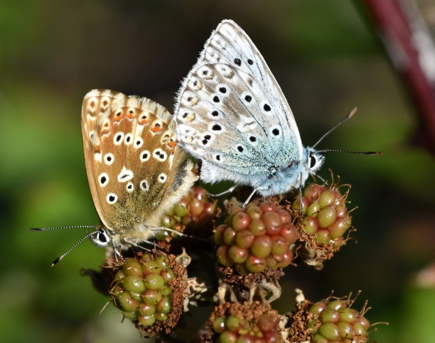 Two butterflies, one brown with orange, black and white spots and the other blue and grey with black and white spots mating on bramble berries
