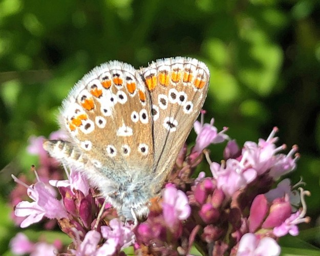 View of pale brown and blue butterfly with black, white and orange markings nectaring on a pink f;lower