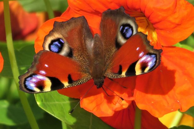 A red butterfly with black, white and blue markings nectaring on a reddish orange flower
