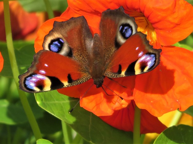 A red butterfly with black, white, brown, yellow and blue markings nectaring on a bright orange flower