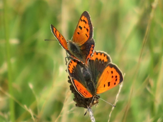 Two perching orange and brown butterflies with black markings
