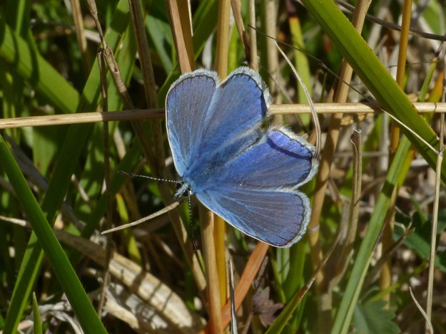 A resting blue butterfly with some black markings and a white fringe to the wings