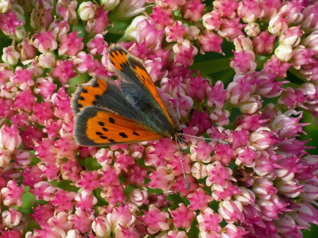 An orange and brown butterfly with black markings nectaring on a pink Sedum flower