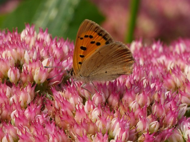 Orange and brown butterfly with black markings nectaring on a pink Sedum flower
