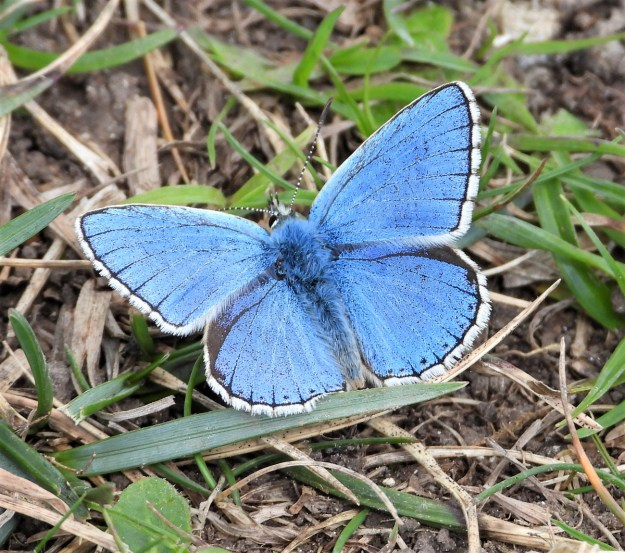 A blue butterfly with a white fringe to the wings resting in the vegetation