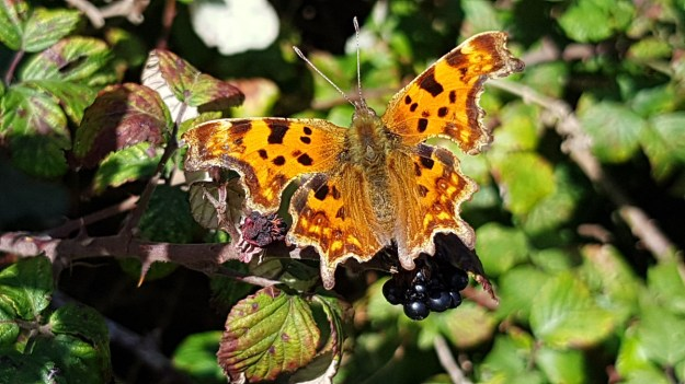 An orange butterfly with black and brown markings resting on blackberries