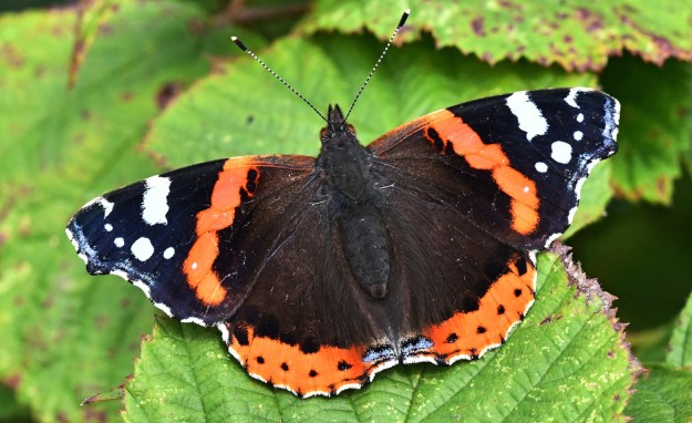 A reddish orange and black butterfly with white markings resting on on a green leaf