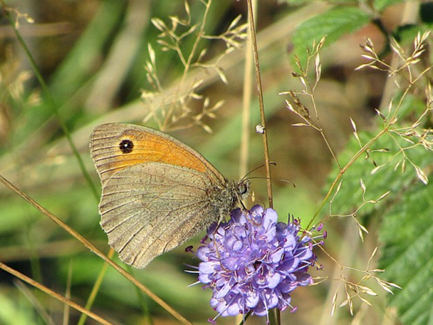 A brown and orange butterfly nectaring on a violet-blue flower