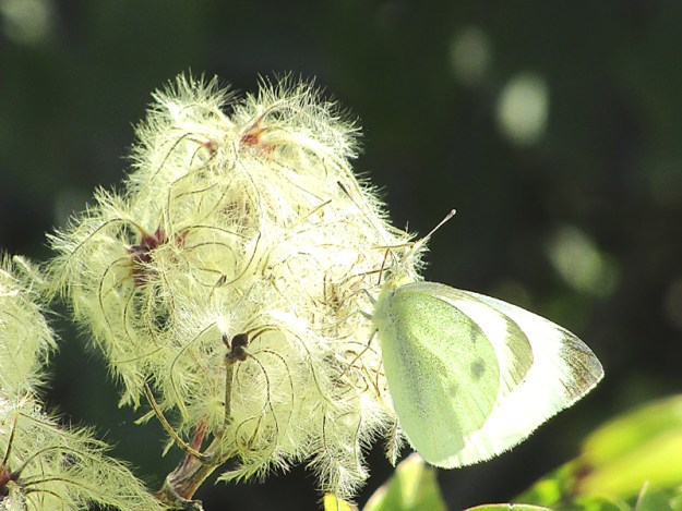 A greenish white butterfly with greyish black markings nectaring on the white flowers of an Old Man's Beard plant