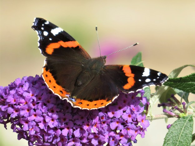 A reddish orange and black butterfly with white markings nectaring on on lilac coloured Buddleia flower