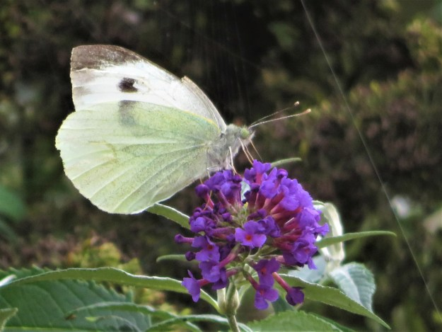 A greenish white butterfly with blackish markings nectaring on a purple flower