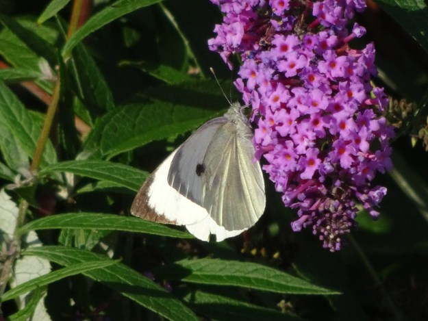 A yellowish white butterfly with black markings, nectaring on a pinkish Buddleia flower