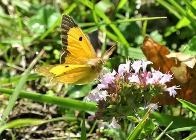 A yellow butterfly with some black markings nectaring on a pink flower