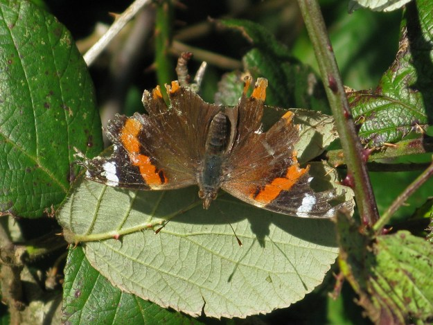 A rather tatty reddish orange, brown and black butterfly with white markings resting on a green leaf