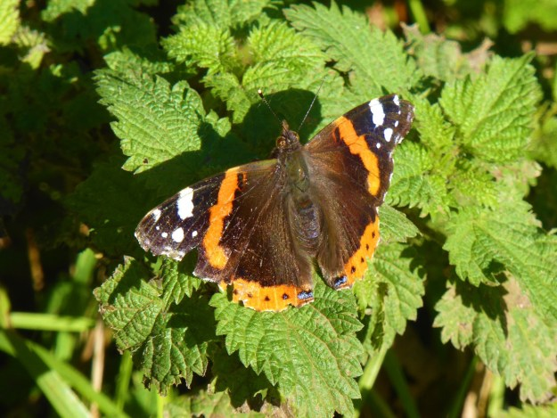A reddish orange, black and brown butterfly with white markings resting on green nettle leaves