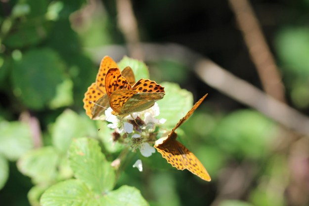 View of 3 orange butterflies with black markings on a white bramble flower