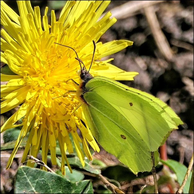 A yellow butterfly with some brown markings nectaring on a yellow flower