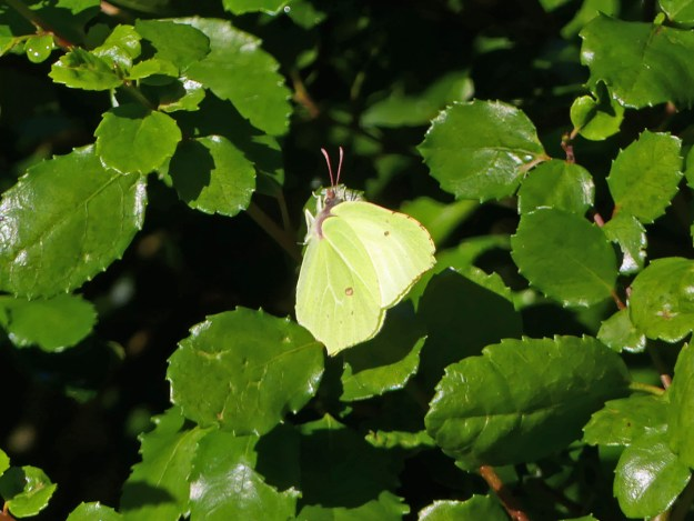 A yellow butterfly with some brownish markings resting on a green leaf