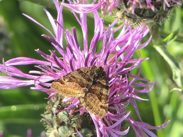 Greyish brown moth , with darkn brown crossbands on forewings.