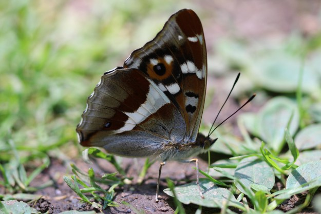Brownish and grey butterfly with black, orange and white markings and a blueish tinge resting on the ground