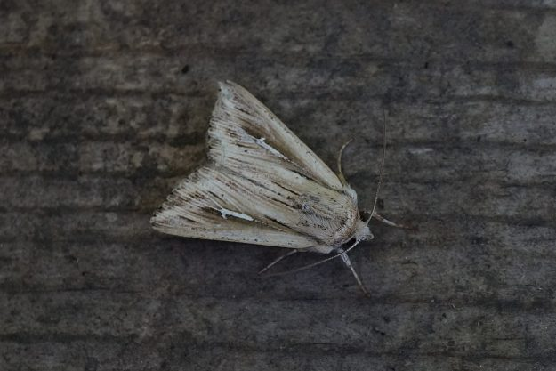 Cream and brown moth with white L shape on each forewing