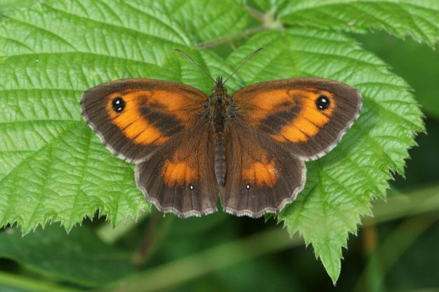 A brown and orange butterfly with black and white markings resting on a green leaf