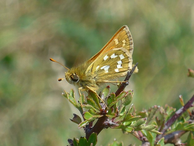 View of a golden brown butterfly with white markings resting on a hawthorn bush