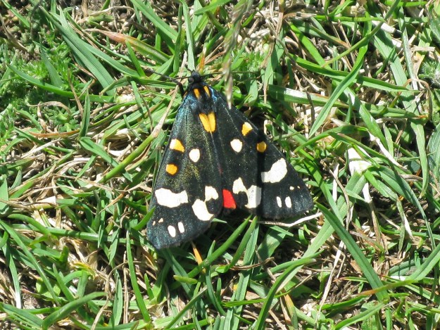 Black moth with yellow and white blotches on forewingsand red underwing
