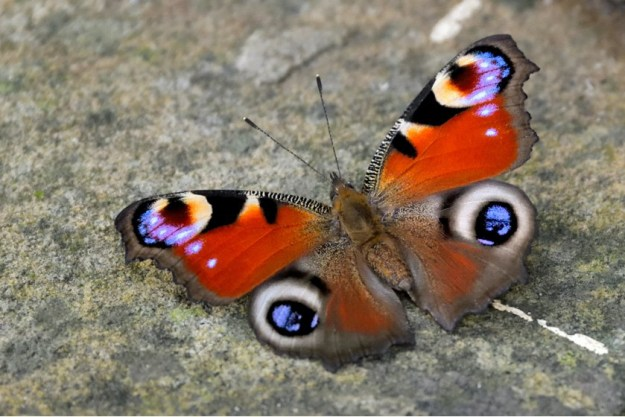 View of a resting red butterfly with black, creamy white and blue markings