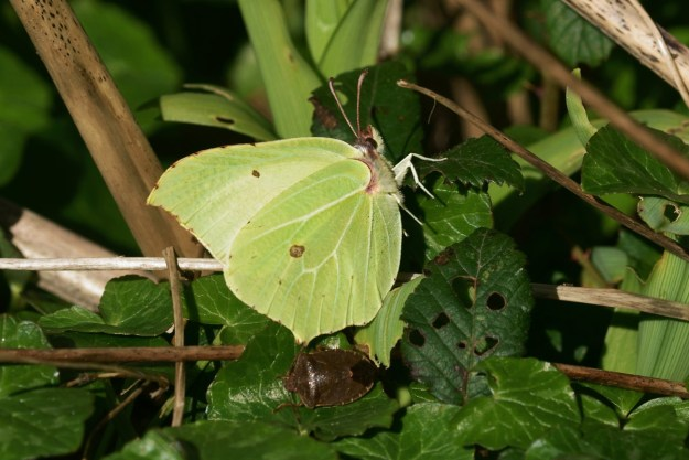 A greenish yellow butterfly with some brown markings resting in some green foliage