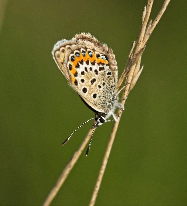 View of a perching pale brown butterfly with black, cream, orange and blue markings