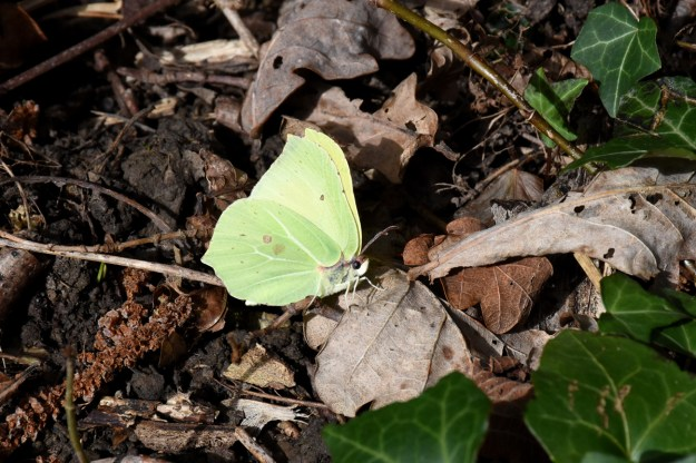 A greenish yellow butterfly with some brownish markings resting on a brown leaf