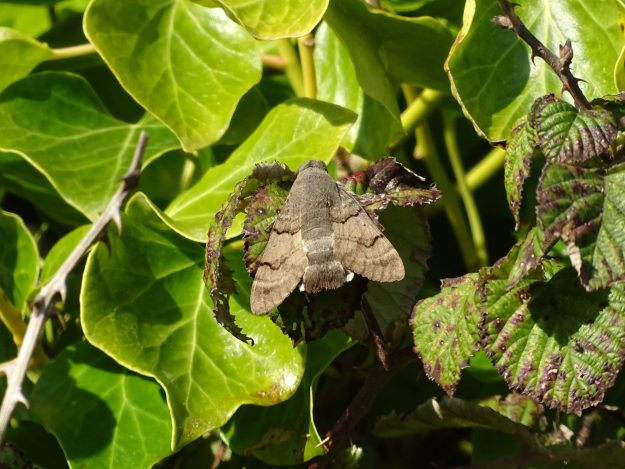 a hawkmoth at rest on ivy showing only brown/ upperwings.grey