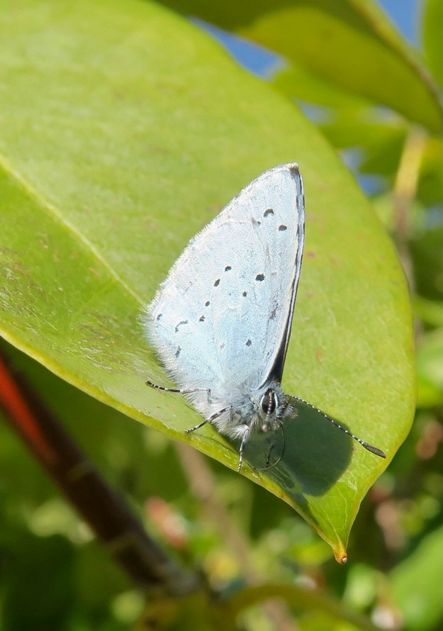 A silvery blue butterfly with some black spots resting on a green leaf