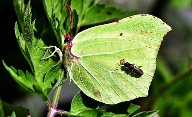 A greenish yellow butterfly with some brown markings and a black insect on one wing