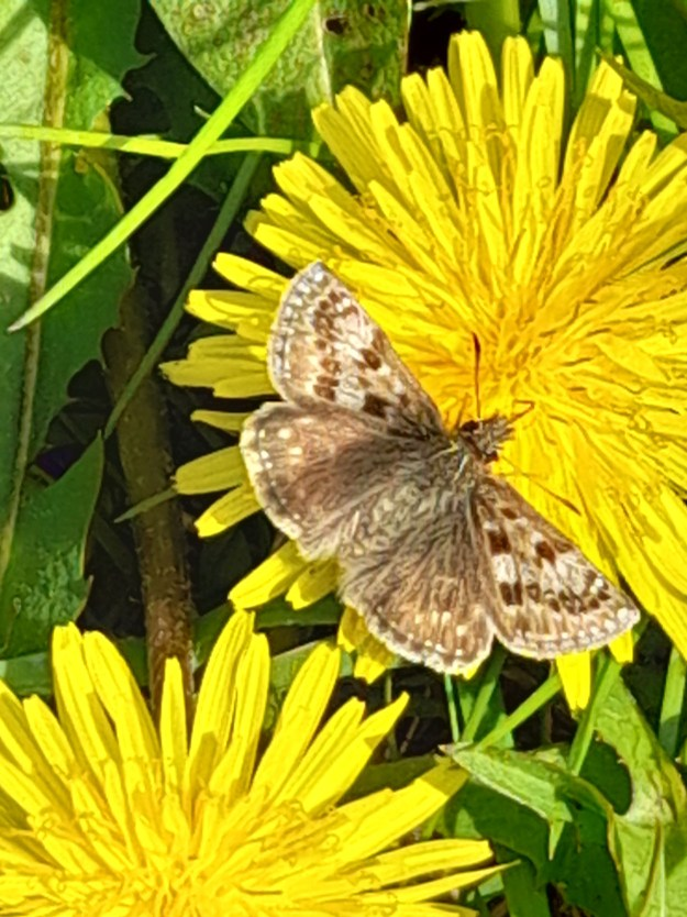 A brown butterfly with paler markings nectaring on a yellow dandelion