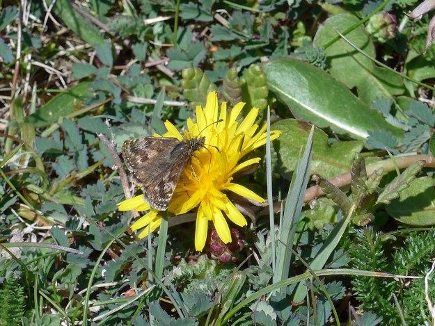 A brown butterfly with some paler markings nectaring on a yellow dandelion