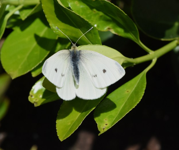 A white butterfly with some black markings resting on green leaves