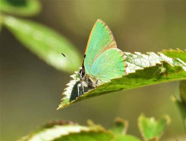 A green butterfly resting on a green leaf