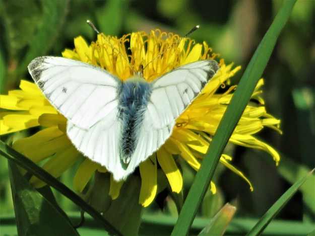 A white butterfly with some black markings nectaring on a yellow flower