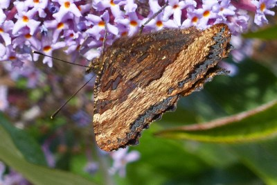 Dull two-tone brown butterfly underwings