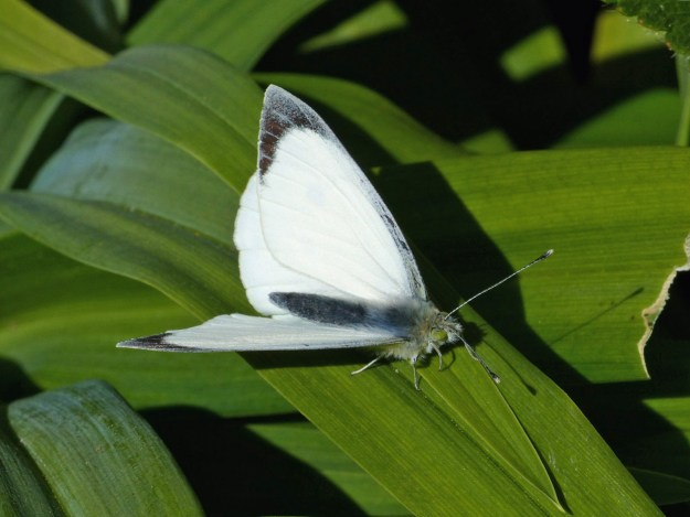 A white butterfly with black markings resting on a green leaf