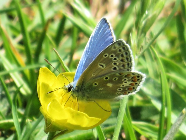 A blue and pale brown butterfly with black, white and orange markings nectaring on a yellow flower