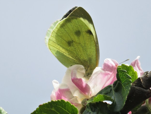 A greenish/yellow white butterfly with some black markings nectaring on a pink and white flower