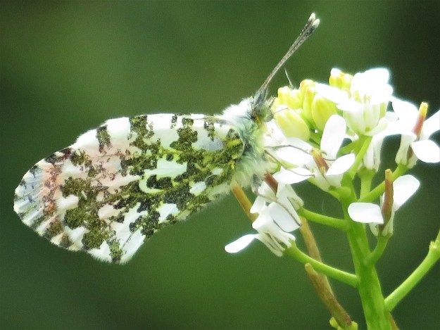 A white and orange butterfly with green markings nectaring on a white flower