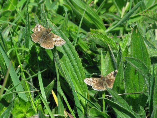Two brownish butterflies with some paler markings resting in green vegetation